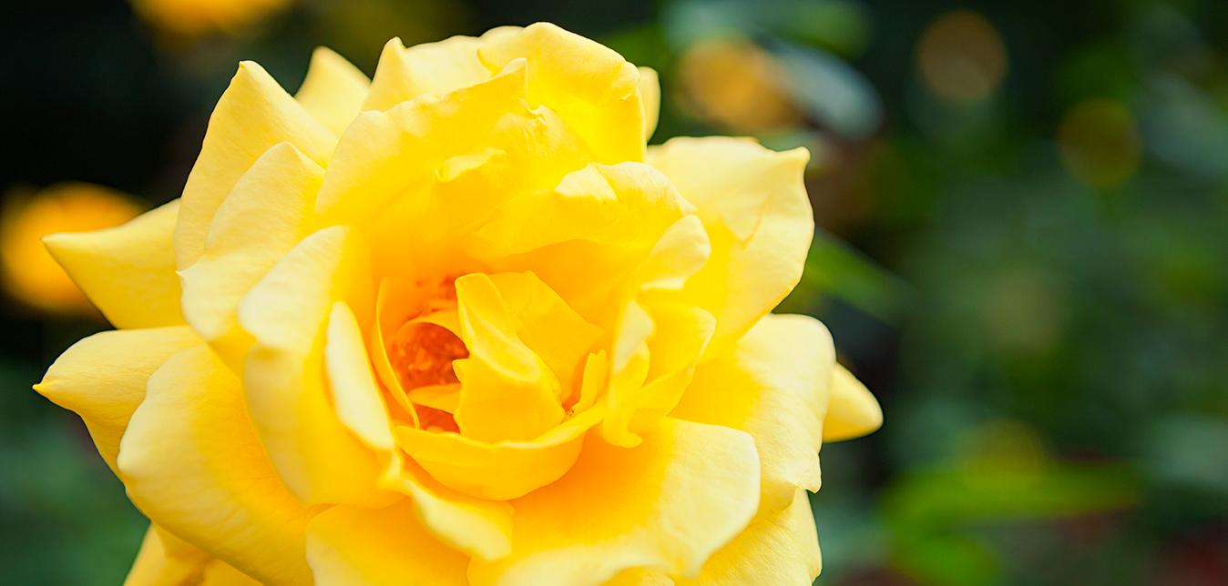 Seit 20 Jahren ist die einzelne gelbe Rose Symbol von ZONTA International.